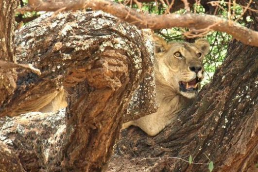 Female lion hiding on a tree