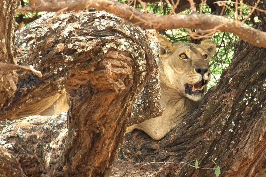 Female lion hiding on a tree