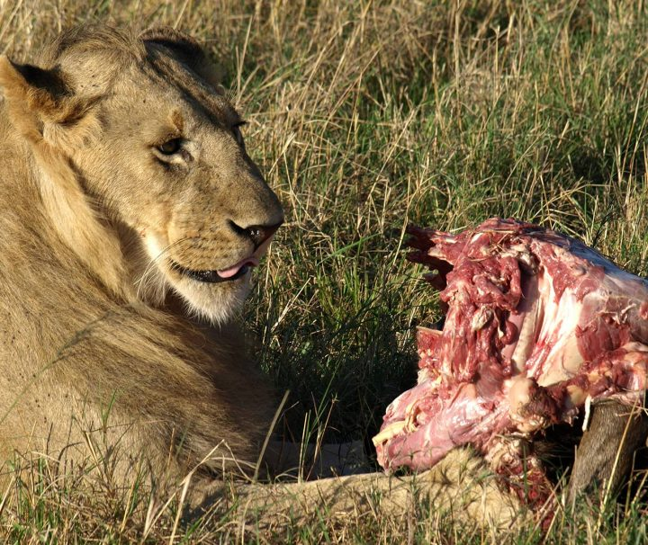 lion on prey in amboseli